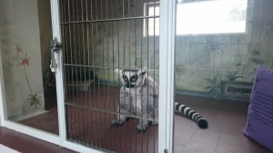 Mah-jongg the Courtauld's Lemur